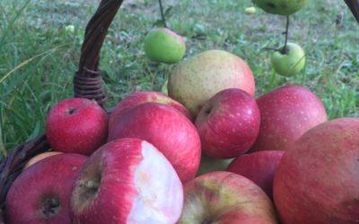 NEU++Alte Sorten: Äpfel & Birnen-Sorten+Streuobst-Initiative Hersbruck